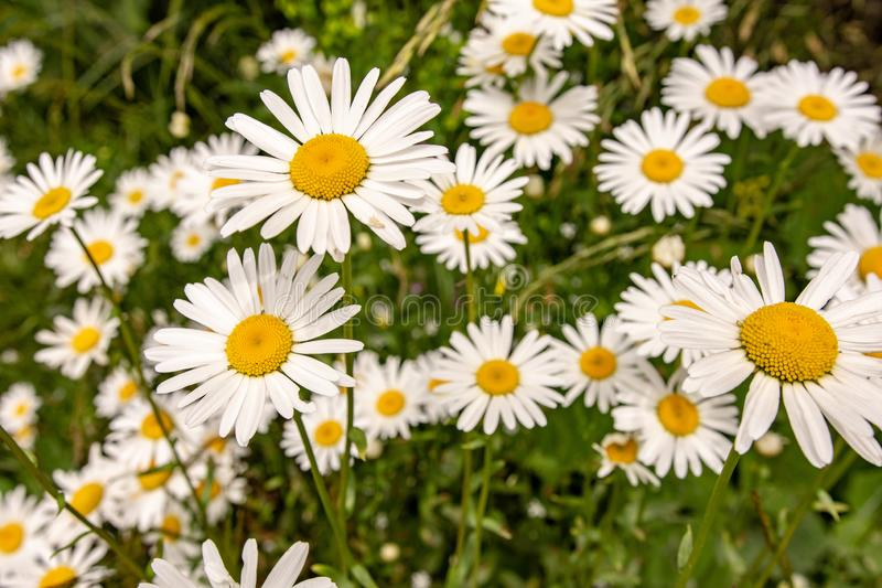 Nature and Gardening Concept. Wild White Daisy Flowers on Green Meadow. Nature and Gardening Concept. Wild White Daisy Flowers on Green Mountain Meadow royalty free stock photos