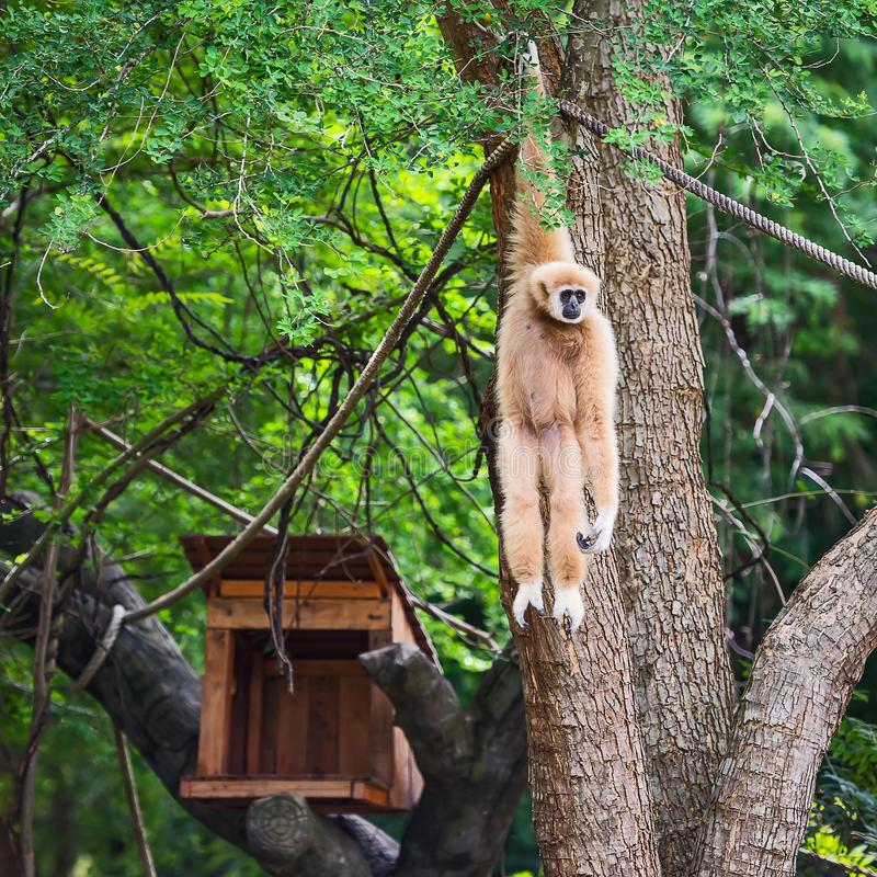 The nature of the gibbon. stock image