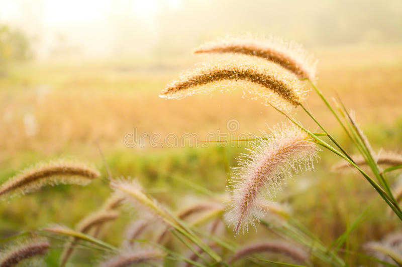 Nature wallpaper grass flower. Back ground gray grass flower with dew in the morning wallpaper stock photos