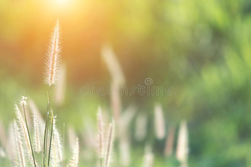 Nature grass flower with sunset background. Blurred natural back stock image