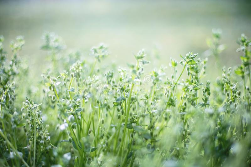 Nature grass with small buds stock photography