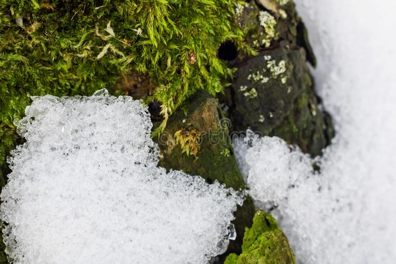 Nature green background, lichen on moss-grown surface and snow close up royalty free stock image