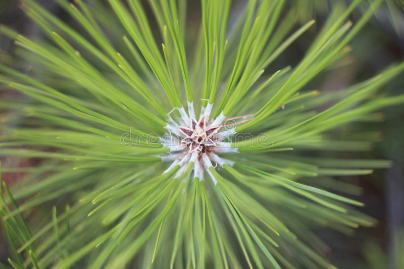 Christmas branch with beautiful needles royalty free stock photos