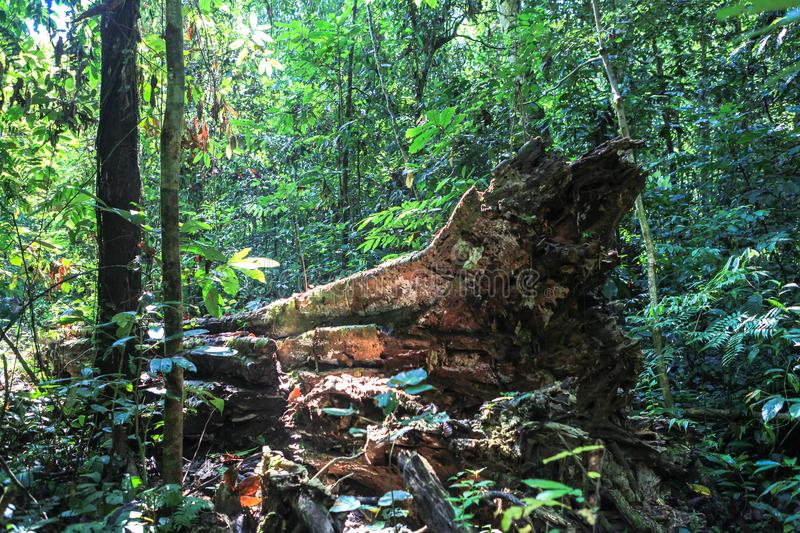 Nature of Gunung Mulu National Park of Sarawak, Malaysia. This picture is taken in Sarawak. The Gunung Mulu National Park is a national park in Miri Division stock images