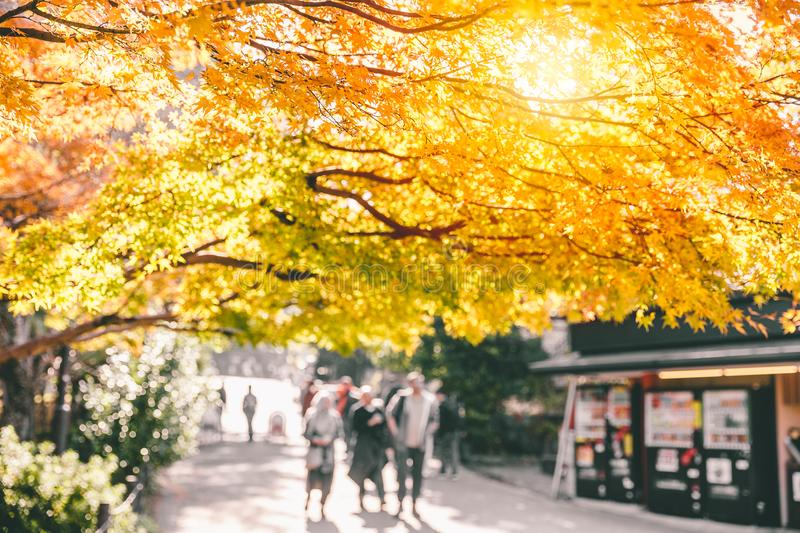 Nature kyoto park scene view autumn season. Golden maple tree in japan royalty free stock photography