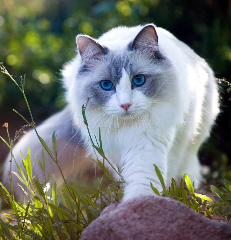 Nature l'explorant de chat de Ragdoll, image cultivée photographie stock libre de droits