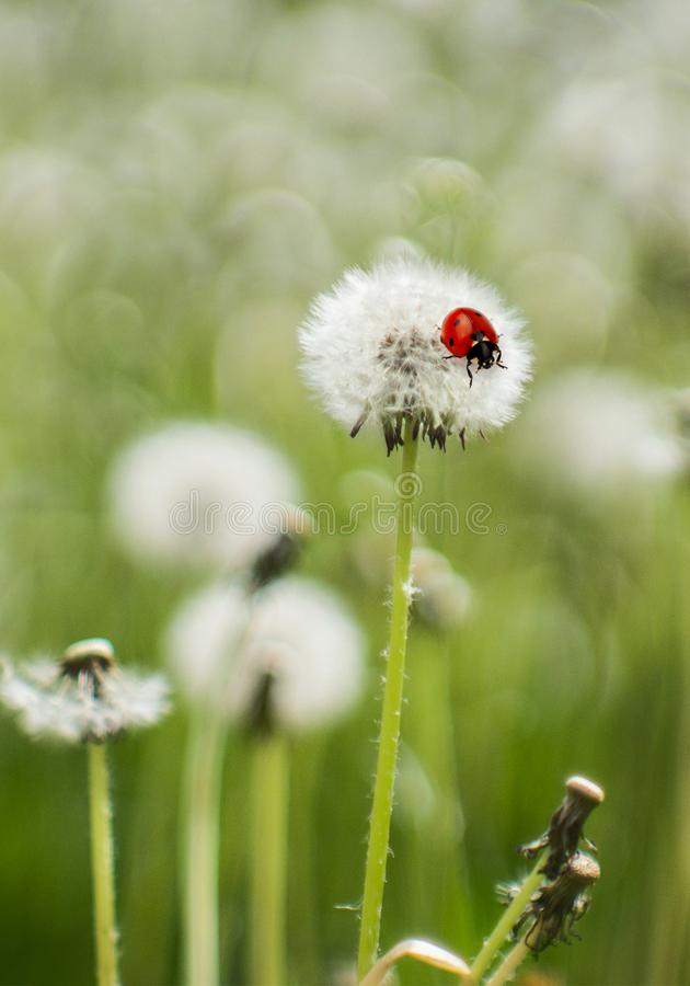 Nature, The ladybug sits on a dandelion royalty free stock photography