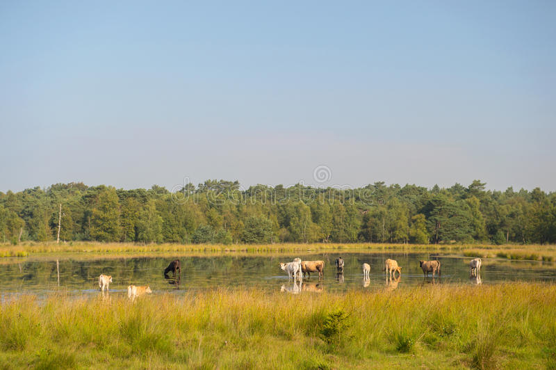 Download Nature Landscape With Cows In Water Stock Image - Image: 33487261