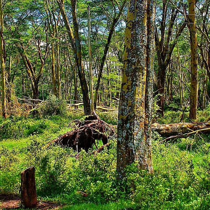 Nature landscape of the forest in Nakuru National Park. Nakuru, national, park, safari, travel, places, woods, trees, plants, grass, green royalty free stock image