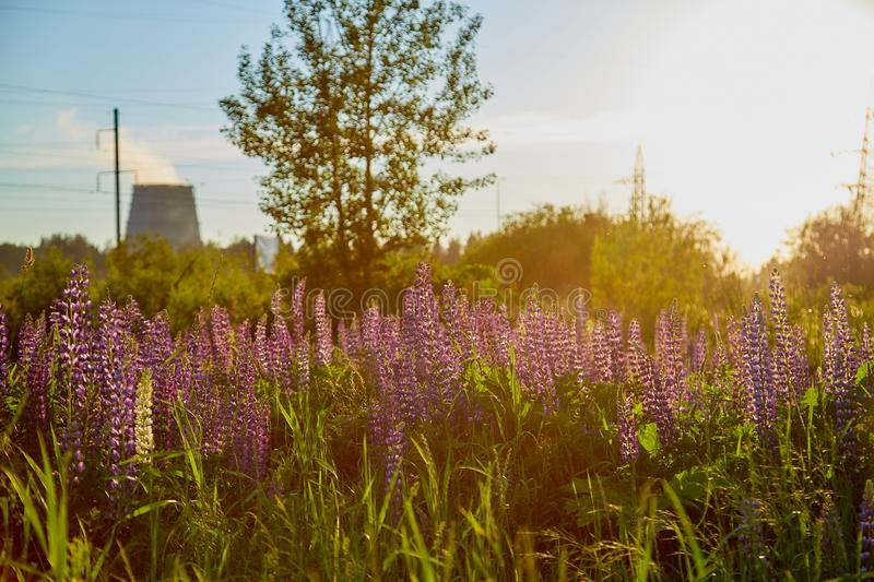 Nature landscape with lupine field and CHP pipes in the background at sunset. In a summer evening stock photography
