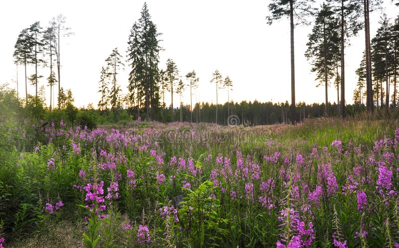 Nature landscape Pink Ivan Tea or blooming sally or willow herb and the pine forest royalty free stock images