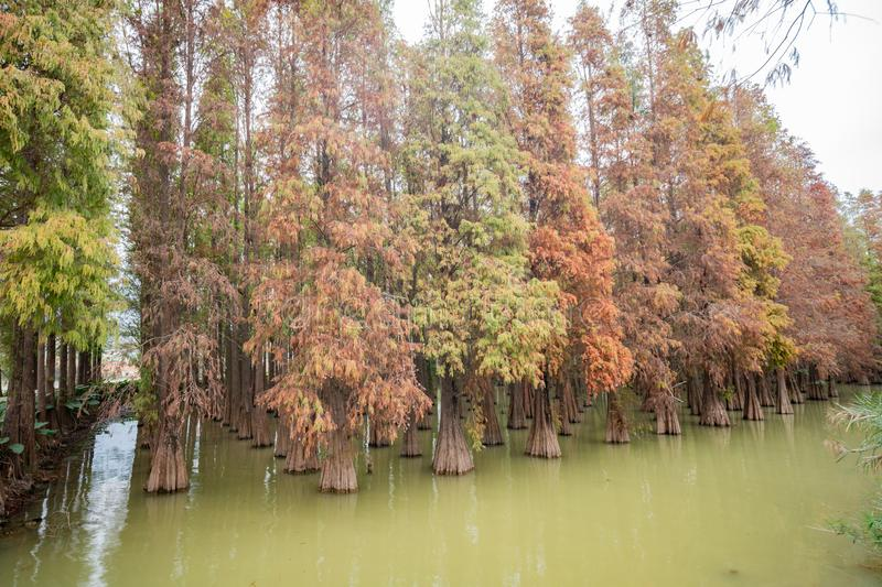 Nature landscape, Taxodium distichum in fall color around Seven-star Crags Scenic Area. At Zhaoqing, China royalty free stock images