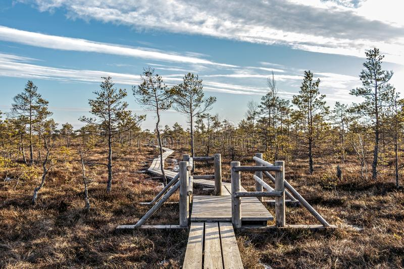 Nature of Latvia, Great Kemeri Swamp: Panoramic autumn landscape with wooden path over the swamp. Fall nature background. Trail along the wooden walkways through royalty free stock photo