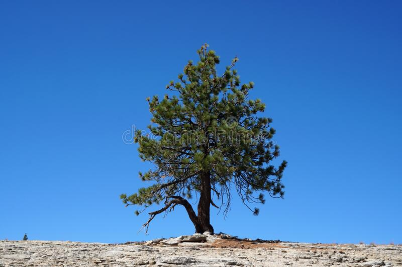 Nature Lonely Single Dry Pine tree on the mountain isolated with blue sky background  - minimal patterns.  royalty free stock image