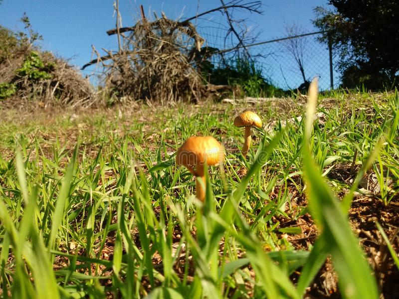 Nature. Magical mushrooms umongst the morning dewed grass stock image