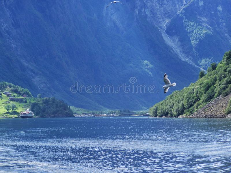 Seagull over water . Water, forest fjord on a Sunny day royalty free stock images
