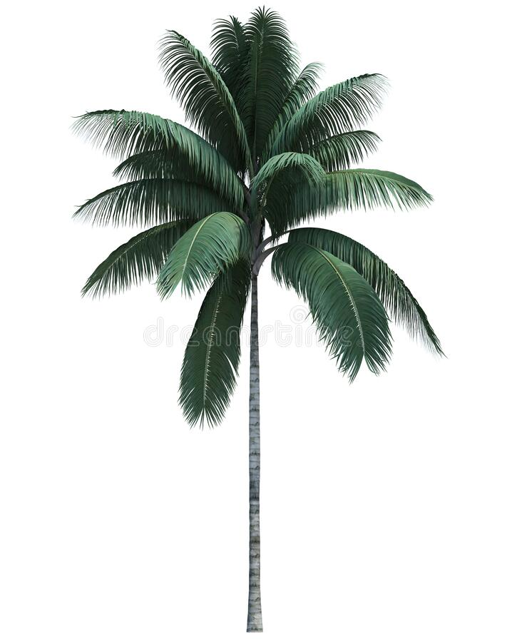 Nature object coconut  tree isolated  white background royalty free stock images