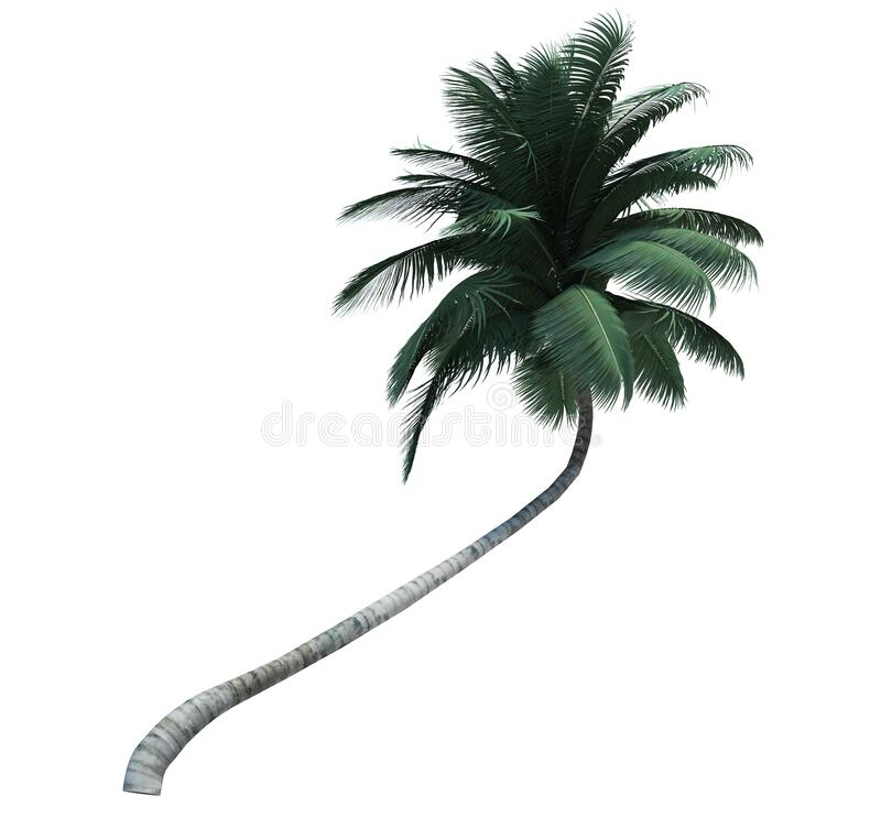 Nature object coconut  tree isolated  white background royalty free stock photos
