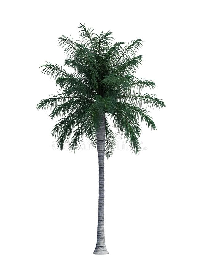 Nature object palm tree isolated  white background stock photography