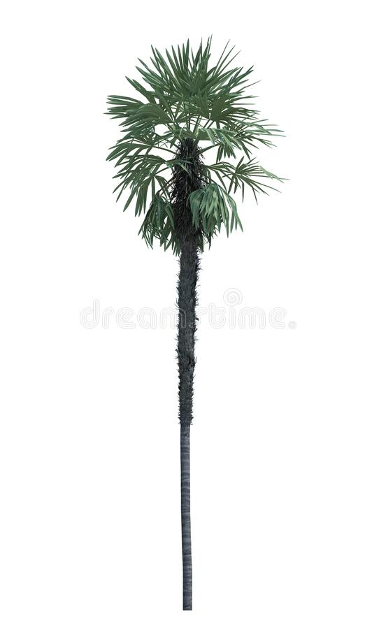 Nature object palm tree isolated  white background stock photo