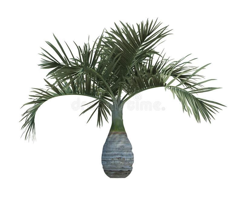 Nature object palm tree isolated  white background royalty free stock photography