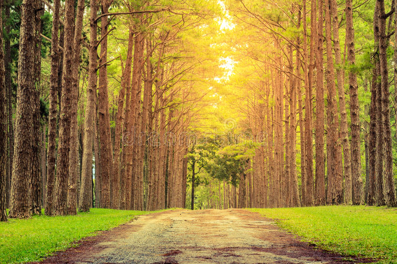 Nature path pass through pine tree garden and sun light shine through leaves. Nature path pass through pine tree garden with sun light shine through leaves royalty free stock photography