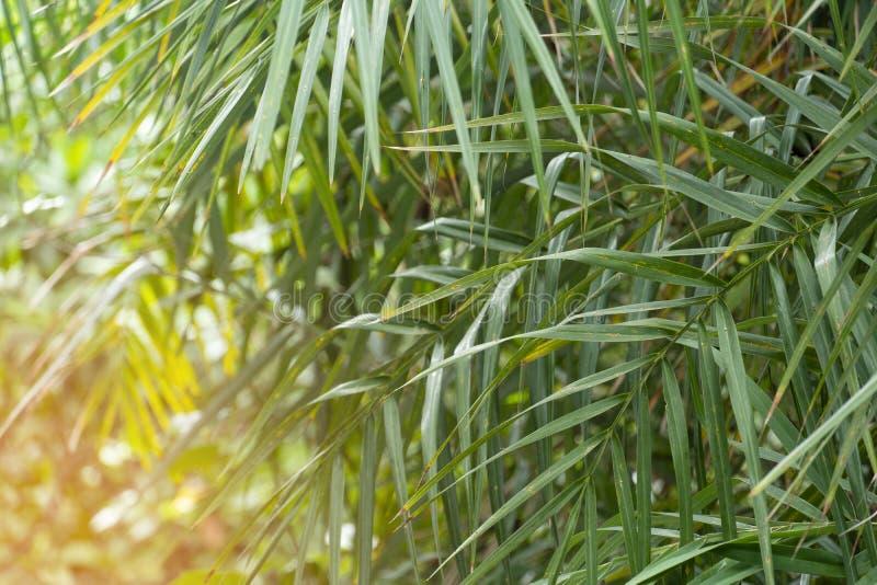 Phoenix Paludosa Roxb or Plamae leaves stock photography