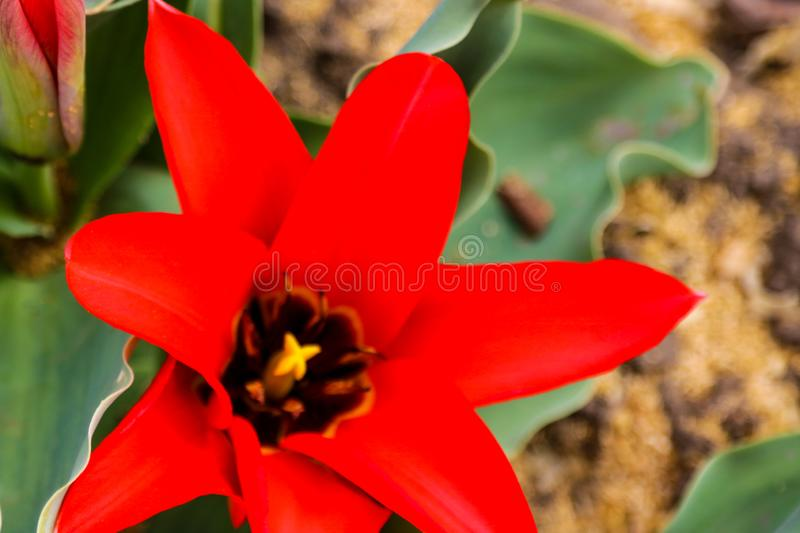 A nature photo is a beautiful tulip flower. A red-pink tulip flower with a yellow heart grows in a clearing royalty free stock photos