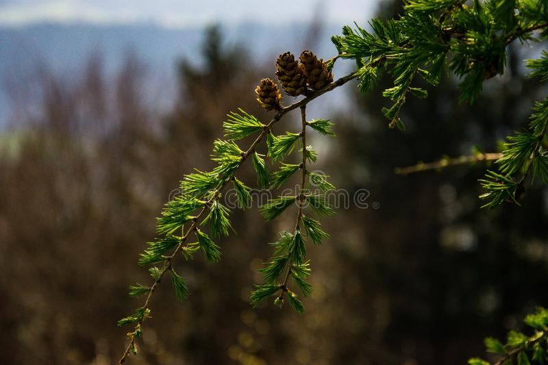 Close up of a pine tree royalty free stock photography
