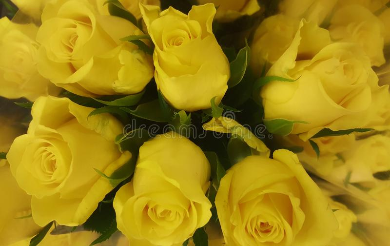 Flowers nature bloomig yellows rose beautiful royalty free stock photo
