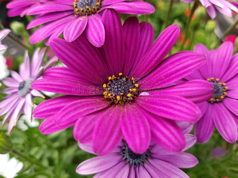 Purple daisies stock image