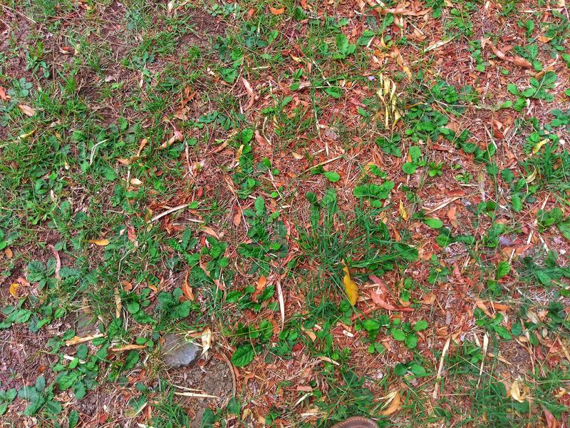 Nature and plant.Green grass on the dry soil,top view. Green grass that grow on dry soil,suitable as a natural background royalty free stock photo