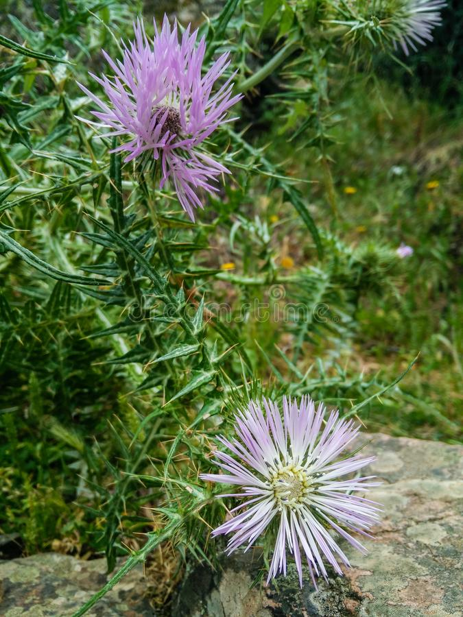 Nature. Plants. Galactites tomentosa Moench, 1794. Purple milk thistle. Galactites tomentosa, Galactites pumila, Carduus galactites, Lupsia galactites stock images