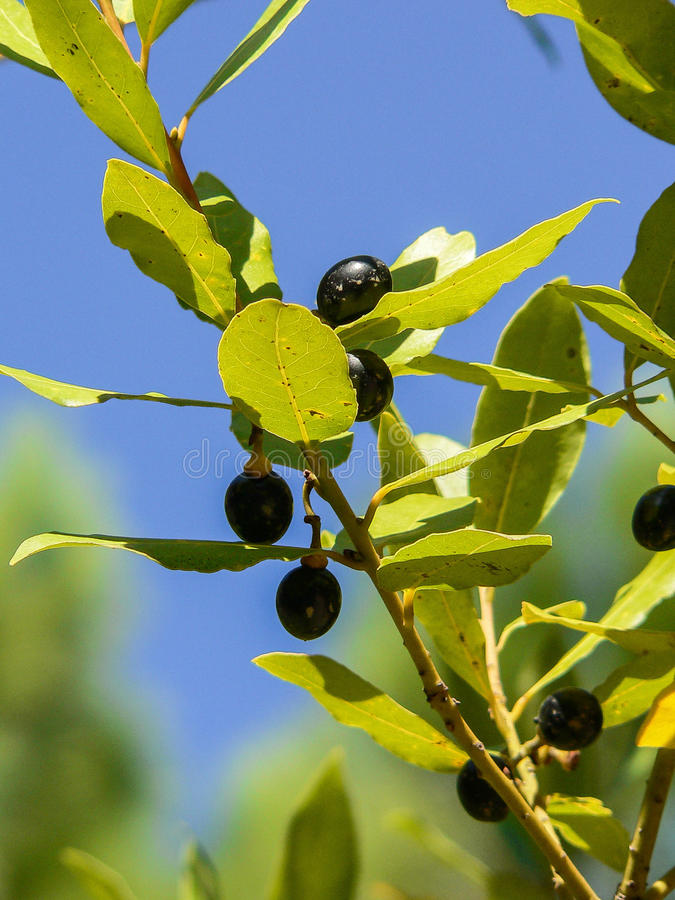 Nature. Plants. Laurus nobilis. Branch of laurel tree with leaves and black ripe drupes stock photography
