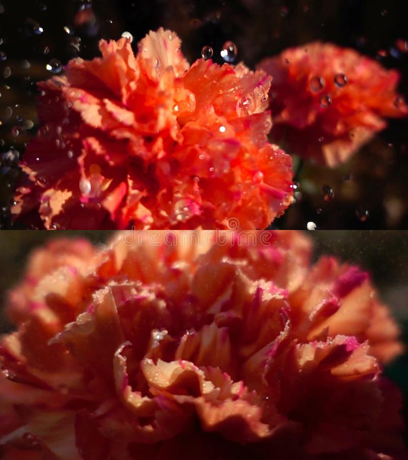 Nature pleuvant sur la fleur d'oeillet images stock