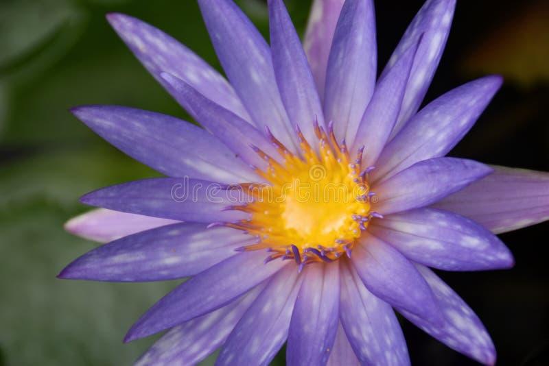 Nature pourpre de beauté de fleur de lotus en Thaïlande du sud photographie stock libre de droits