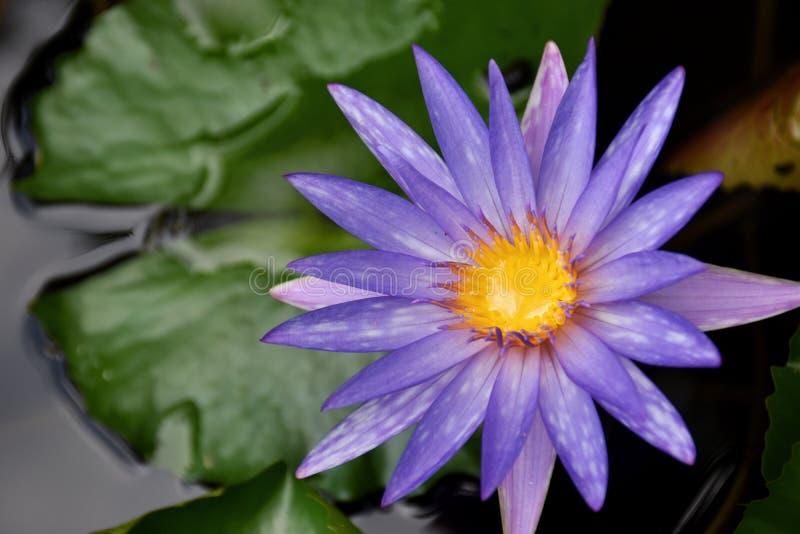 Nature pourpre de beauté de fleur de lotus en Thaïlande du sud photo stock