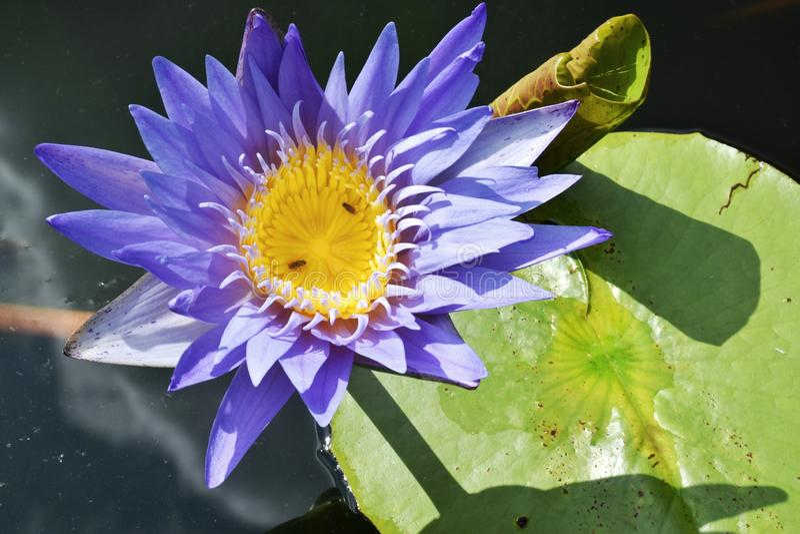 Nature pourpre de beauté de fleur de lotus en Thaïlande du sud photos stock