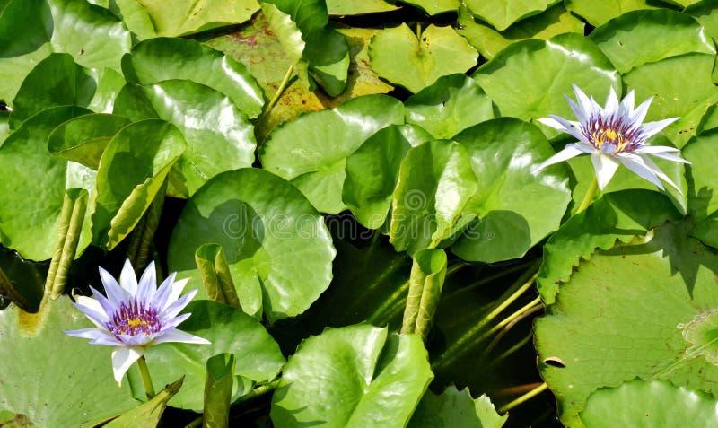 Nature pourpre de beauté de fleur de lotus en Thaïlande du sud image libre de droits