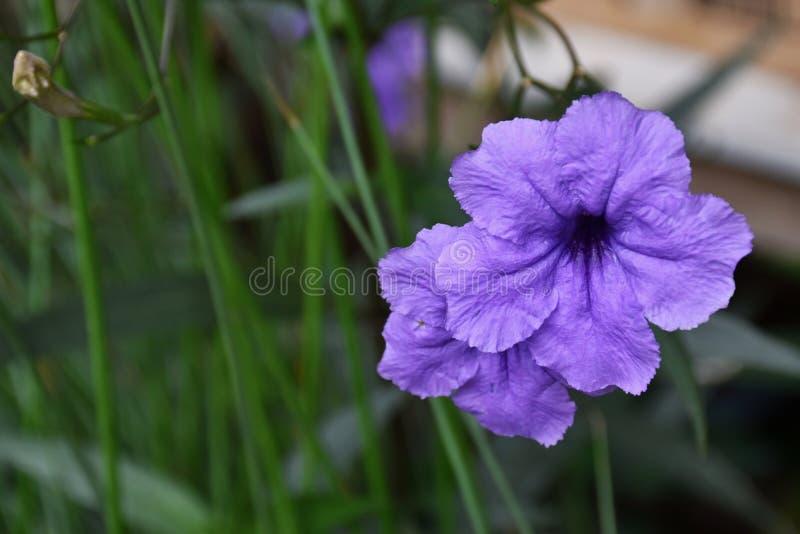 Nature pourpre de beauté de fleurs dans le jardin photo stock