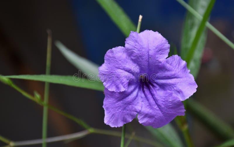 Nature pourpre de beauté de fleurs dans le jardin photos libres de droits