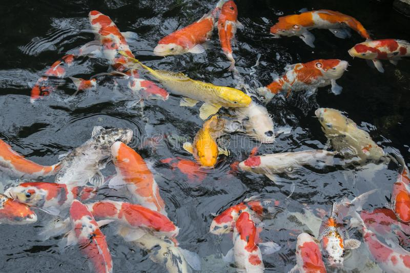 Nature or relaxation abstract background with big colorful Japanese koi carp fish stock images