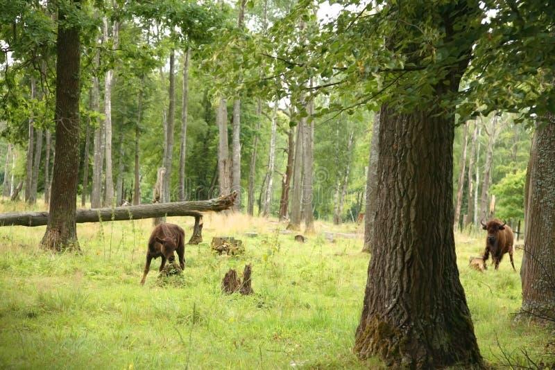 Nature reserve. Prioksko-Terrasny Nature Biosphere Reserve with European bisons in Serpukhov District, Russia stock photo