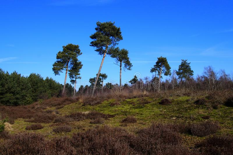 Dutch trees and heathland royalty free stock photos