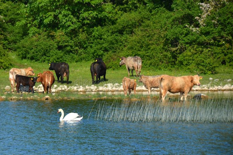 Nature Reserve, Wildlife, Herd, Pasture royalty free stock photos