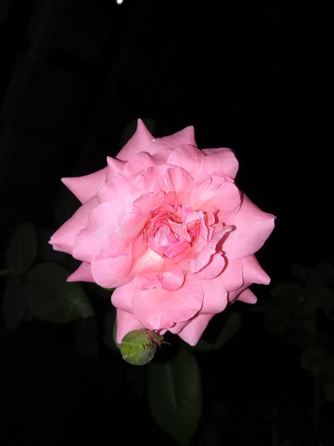 Nature Ross Flower Of Sri Lanka rose photos stock