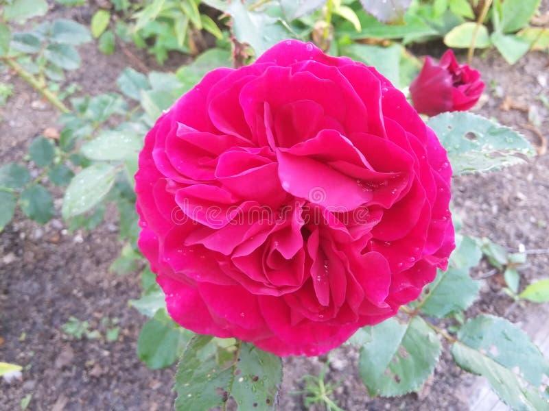 Nature rouge d'été d'usine de rose de fleur photographie stock libre de droits