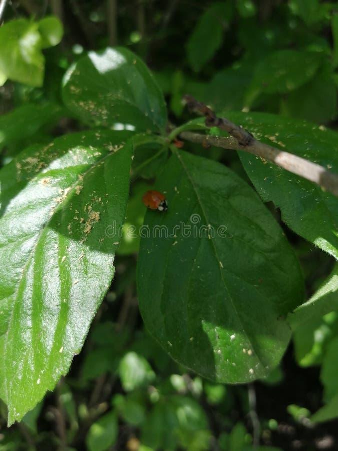 Ladybug sitting on a piece of leaf stock photography