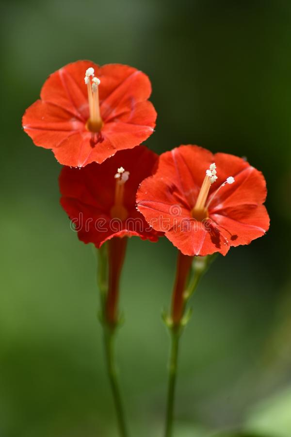 Nature& x27;s beauty is simple and beautiful as these three tall red flowers stock images