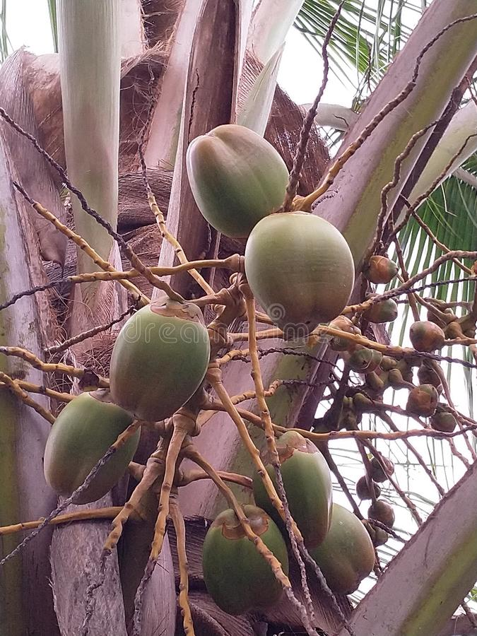 Nature& x27;s nector. Coconut is glucose given by nature stock photos